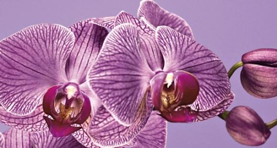 Işıltılı Orkide Moru